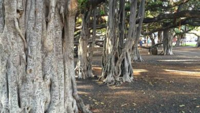 Photo of An iPhone, a Banyan Tree, and the Power of Distraction