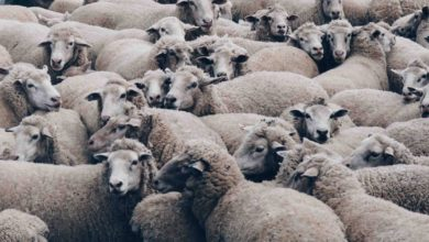 Photo of The High Cost of Being a Sheep